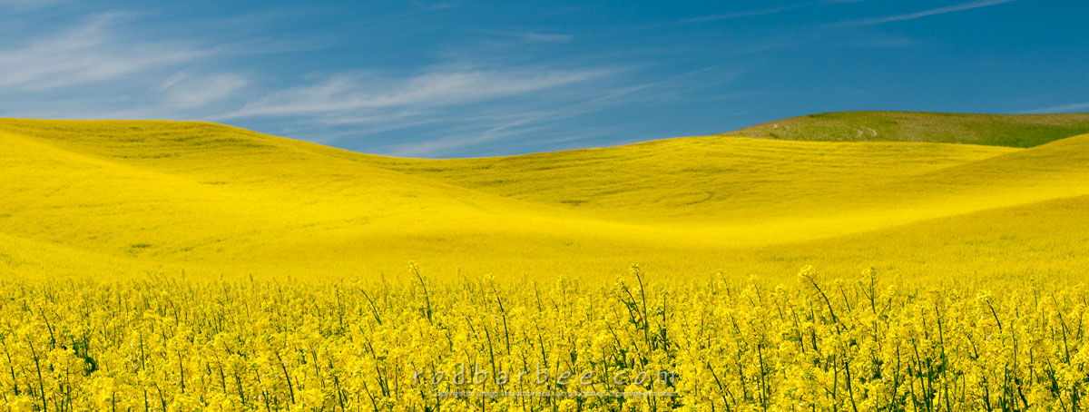 Barbee_130616_3_1753 |  Field of canola near the town of Steptoe, WA